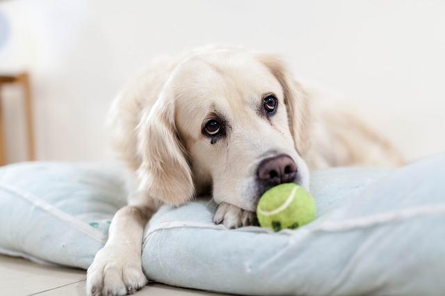 Le lanceur de balles, un outil qui permet d'occuper son chien